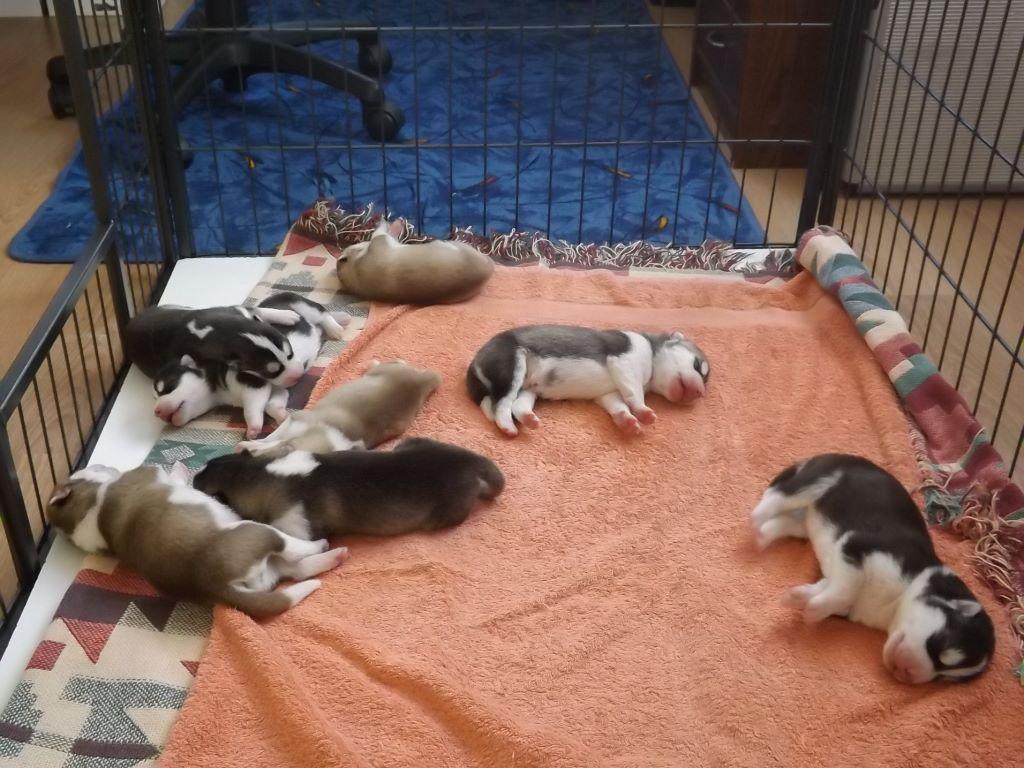 of aqua ice - Chiot disponible  - Siberian Husky