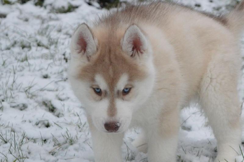 Etoiles des neiges - Chiot disponible  - Siberian Husky