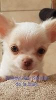 des salines de la baie - Chihuahua - Portée née le 02/12/2020
