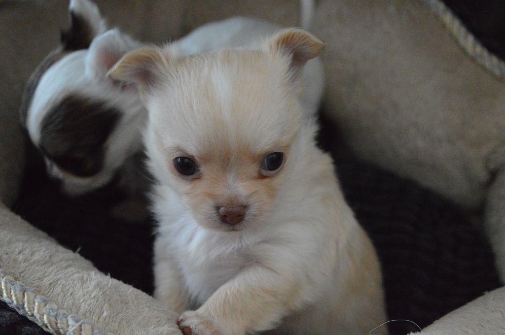 des salines de la baie - Chiot disponible  - Chihuahua