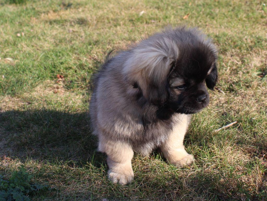 Des Petits Ecureuils - Chiot disponible  - Epagneul tibetain