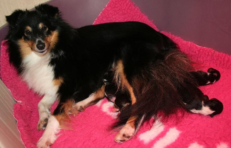Of Pretty Countess - Shetland Sheepdog - Portée née le 28/10/2013