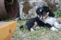 Of Pretty Countess - Shetland Sheepdog - Portée née le 14/03/2011