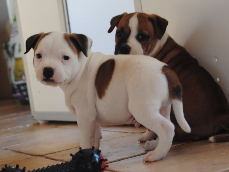 CHIOT - Staffordshire Bull Terrier