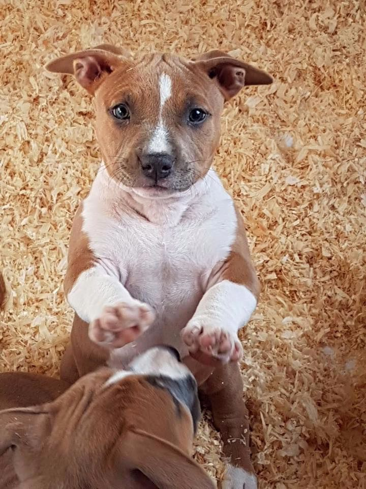 Of Lady's Staff - Chiot disponible  - American Staffordshire Terrier