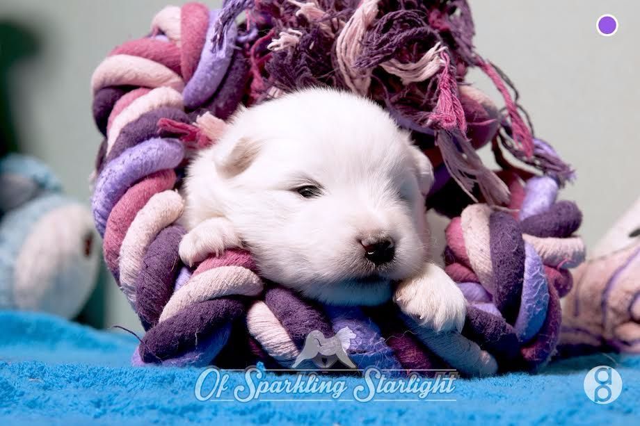of Sparkling Starlight - Chiot disponible  - Samoyède