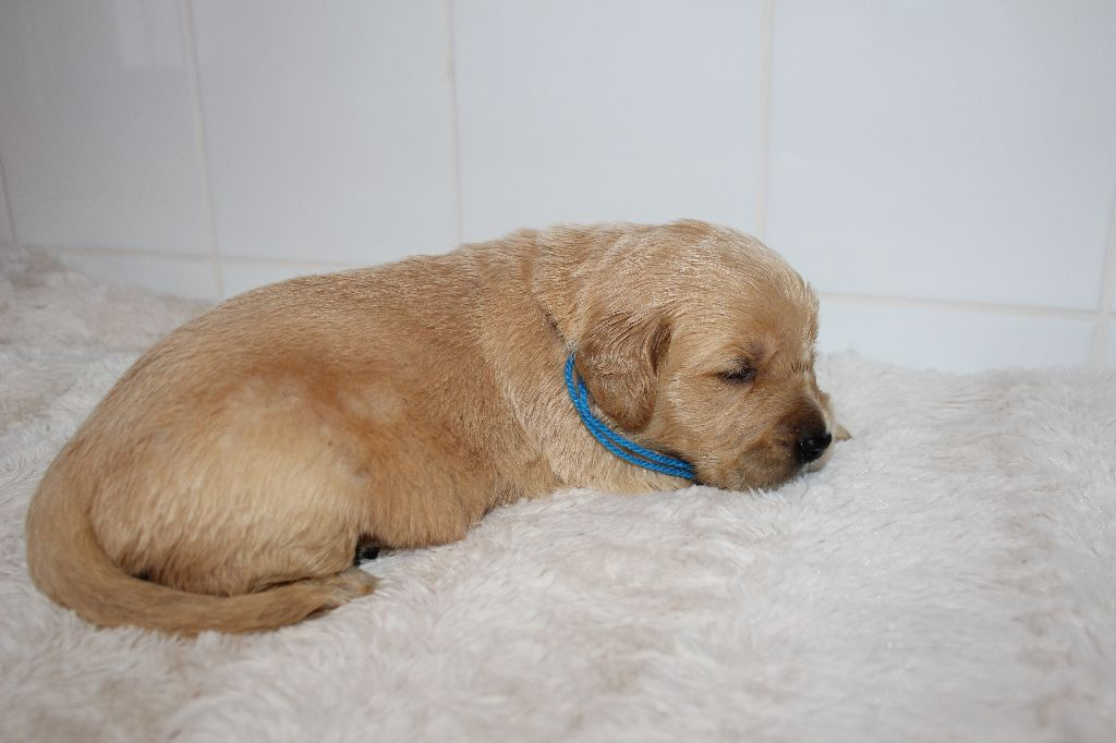 Du Domaine De Jalisco - Chiot disponible  - Golden Retriever