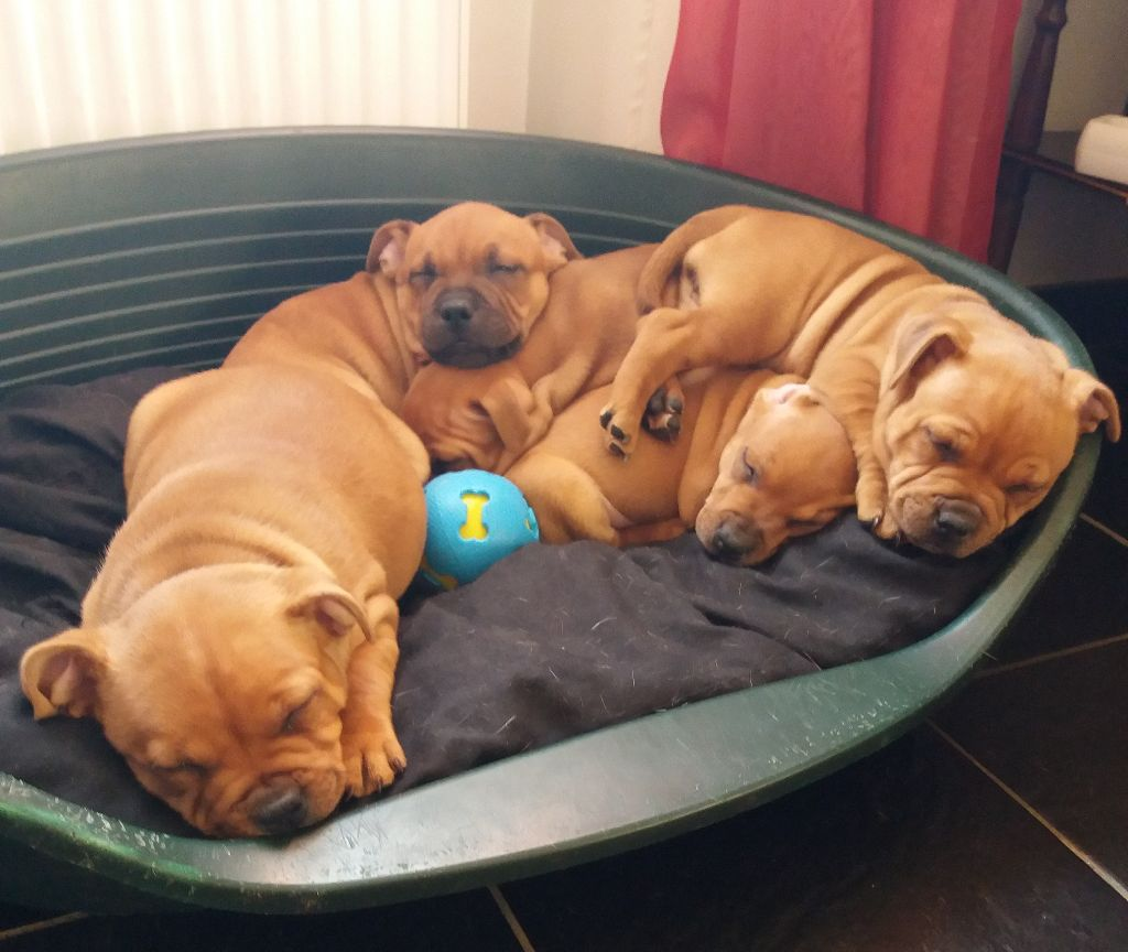 chiot Staffordshire Bull Terrier The Perfect Stafford