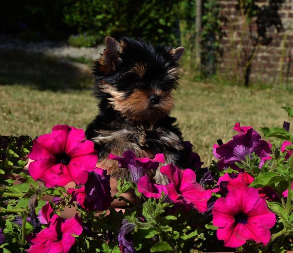 Des Anges De Lumiére - Chiot disponible  - Yorkshire Terrier