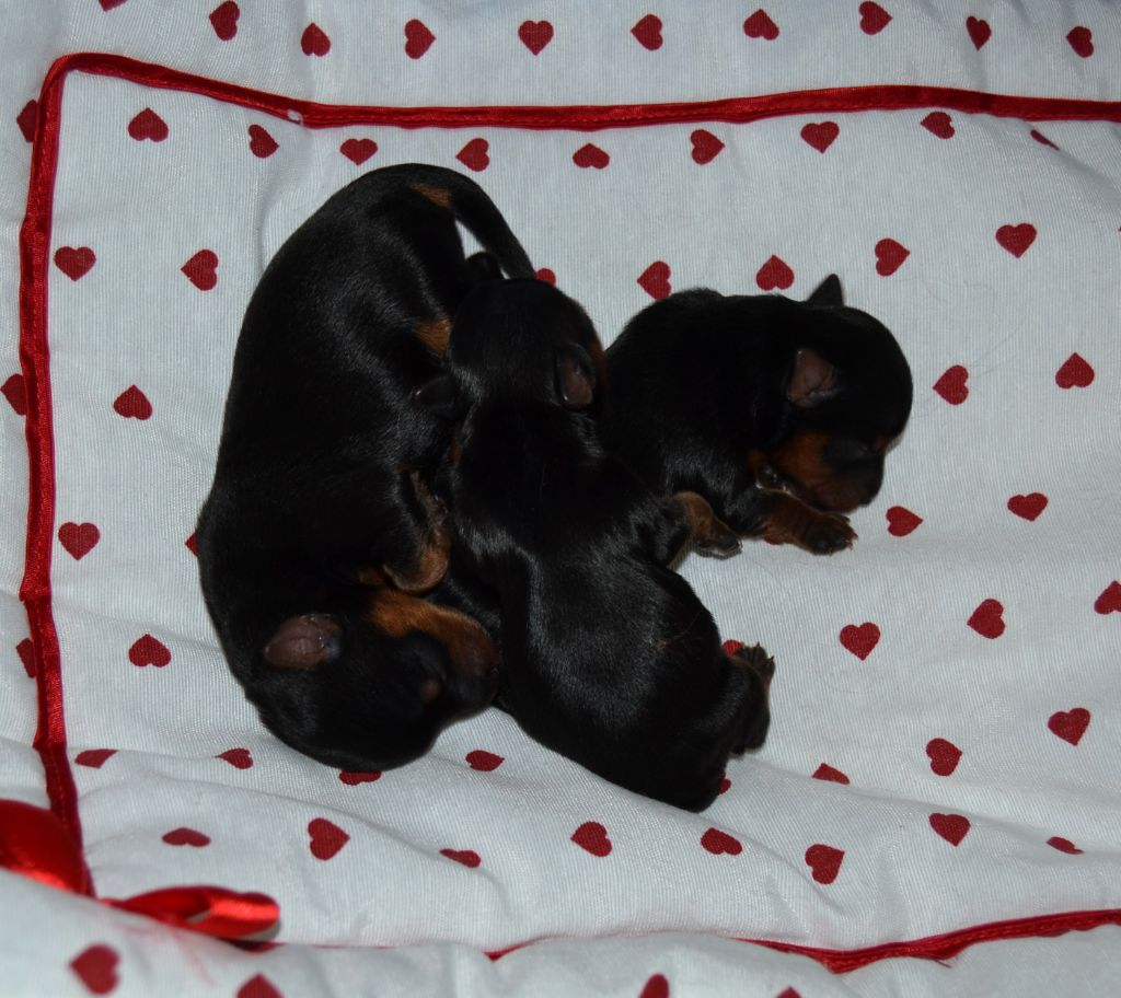 Des Anges De Lumiére - Chiot disponible  - Yorkshire Terrier
