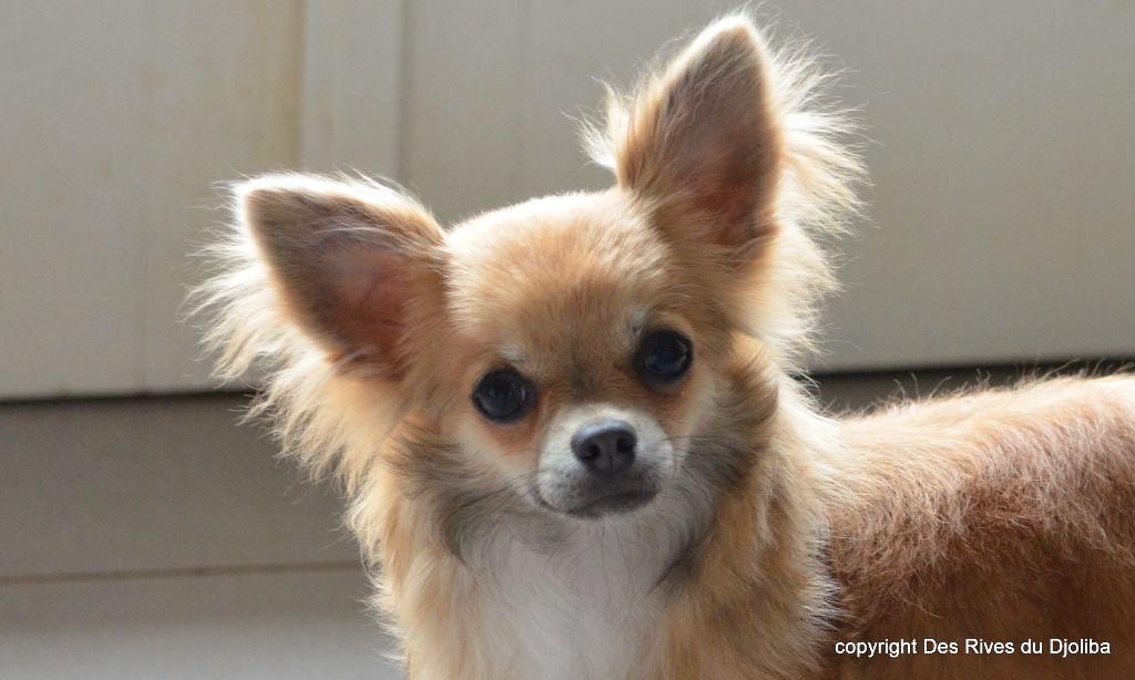 Des Rives Du Djoliba - Chiot disponible  - Chihuahua