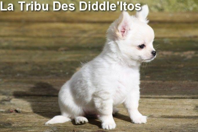 NERON - Chihuahua