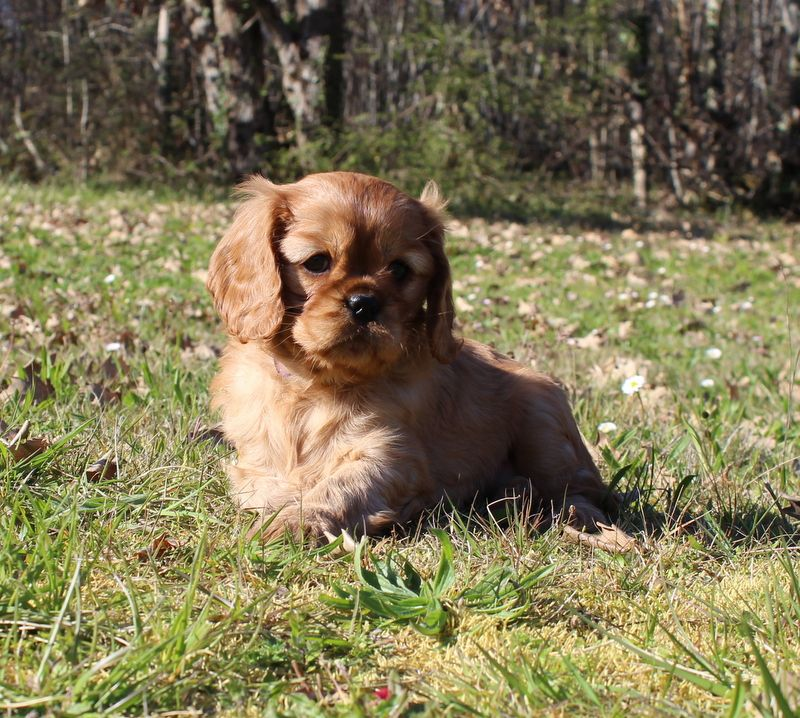 Pinup - Cavalier King Charles Spaniel