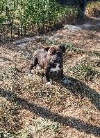 Staffordshire Bull Terrier - du royaume de nati