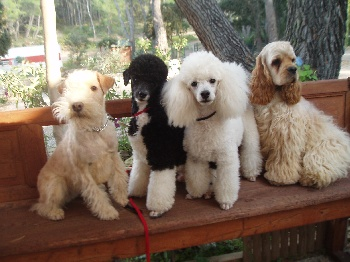 Accueil elevage di dghyovellina eleveur de chiens caniches - Salon toilettage a vendre ...