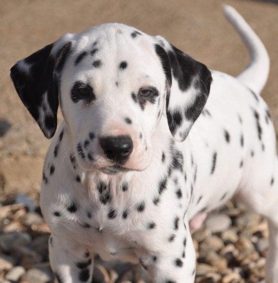 les chiens de florence - Chiot disponible  - Dalmatien
