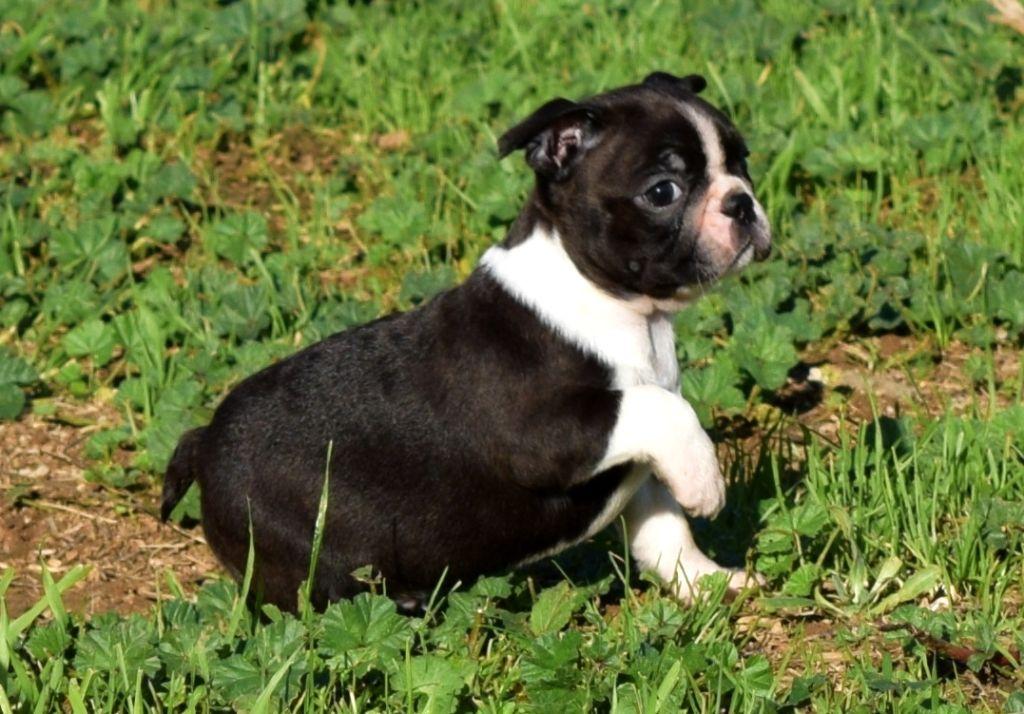 les chiens de florence - Chiot disponible  - Boston Terrier