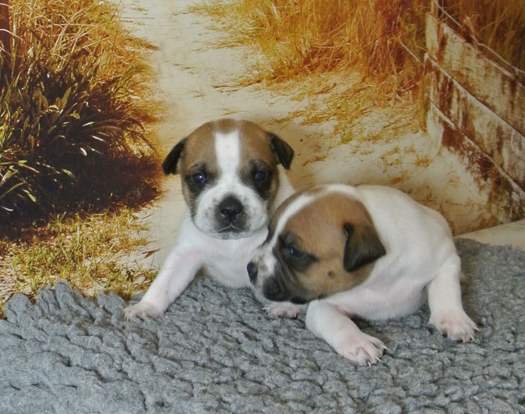 De Lilas Park - Chiot disponible  - Staffordshire Bull Terrier