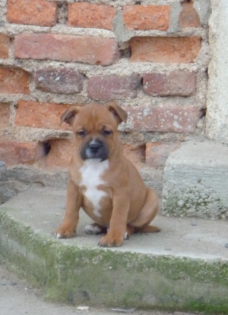 De Lilas Park - Chiot disponible  - Staffordshire Bull Terrier