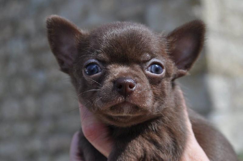 du Royaume d'Isthar - Chiot disponible  - Chihuahua