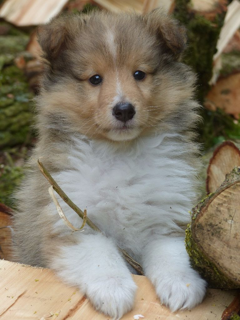 Chiot - Elevage Des bonnes bouilles - eleveur de chiens Shetland Sheepdog