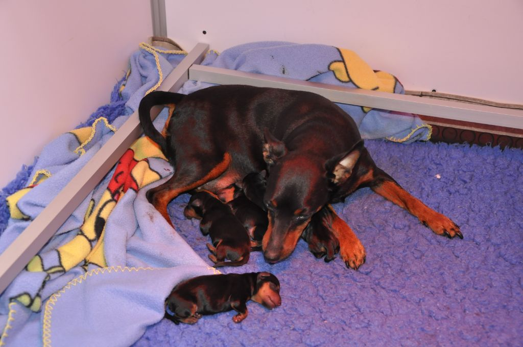 Solfarino - Chiot disponible  - Pinscher nain