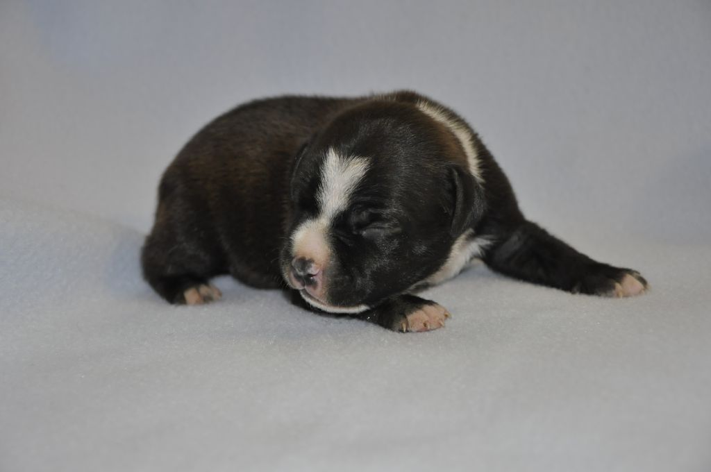 Solfarino - Chiot disponible  - Staffordshire Bull Terrier