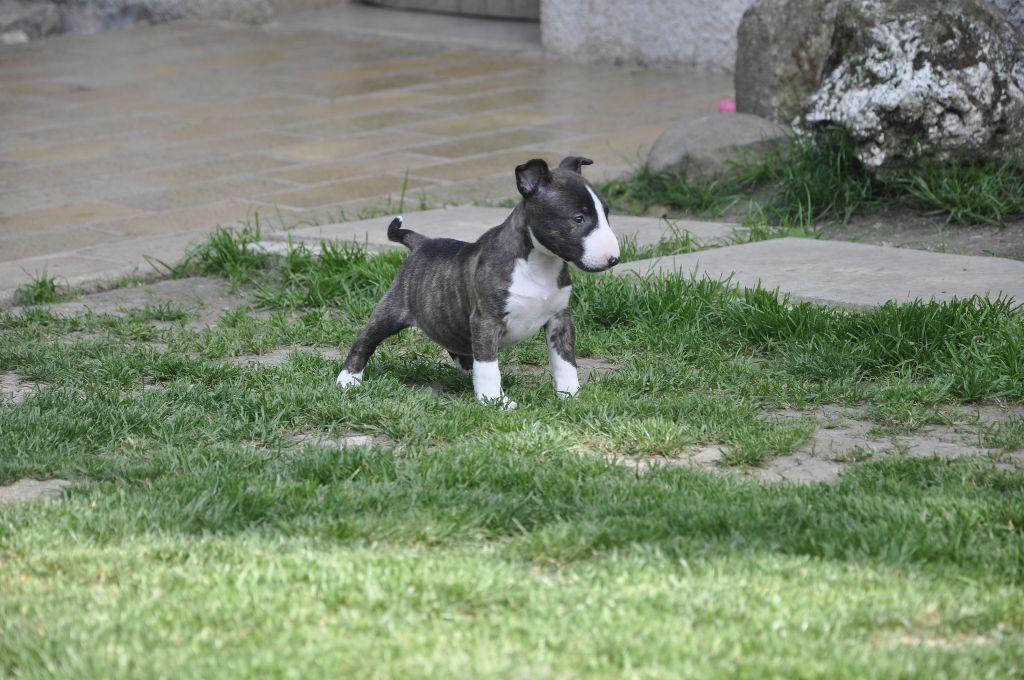 Solfarino - Chiot disponible  - Bull Terrier Miniature