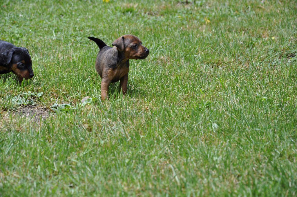 Pinscher nain elevage ile de france – Beliebte Hunderassen