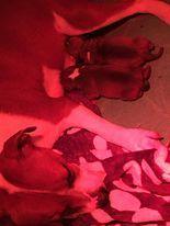 Solfarino - Staffordshire Bull Terrier - Portée née le 10/03/2021