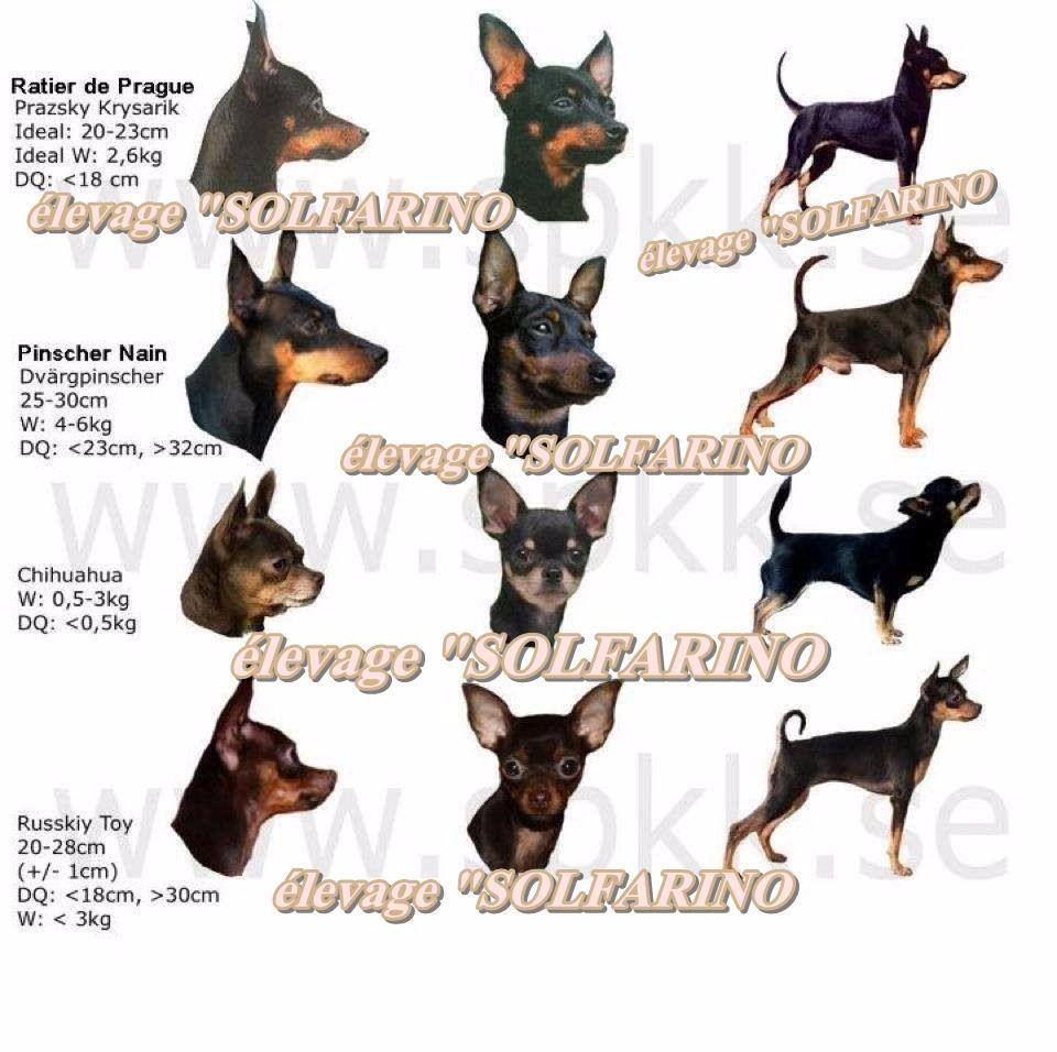 Accueil - Elevage Solfarino - eleveur de chiens Pinscher nain
