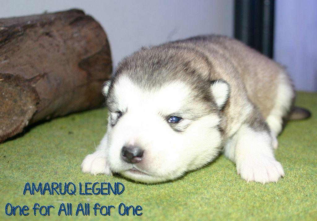 chiot elevage amaruq legend eleveur de chiens alaskan malamute. Black Bedroom Furniture Sets. Home Design Ideas