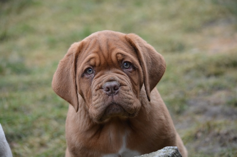chiot elevage des petits frenchies eleveur de chiens dogue de bordeaux. Black Bedroom Furniture Sets. Home Design Ideas