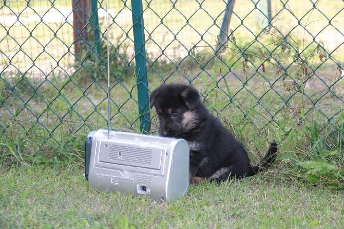 Accueil - Elevage Black Pearl's - eleveur de chiens Berger