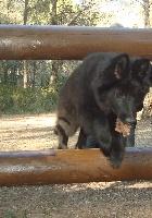Gus black du Prat des Loups