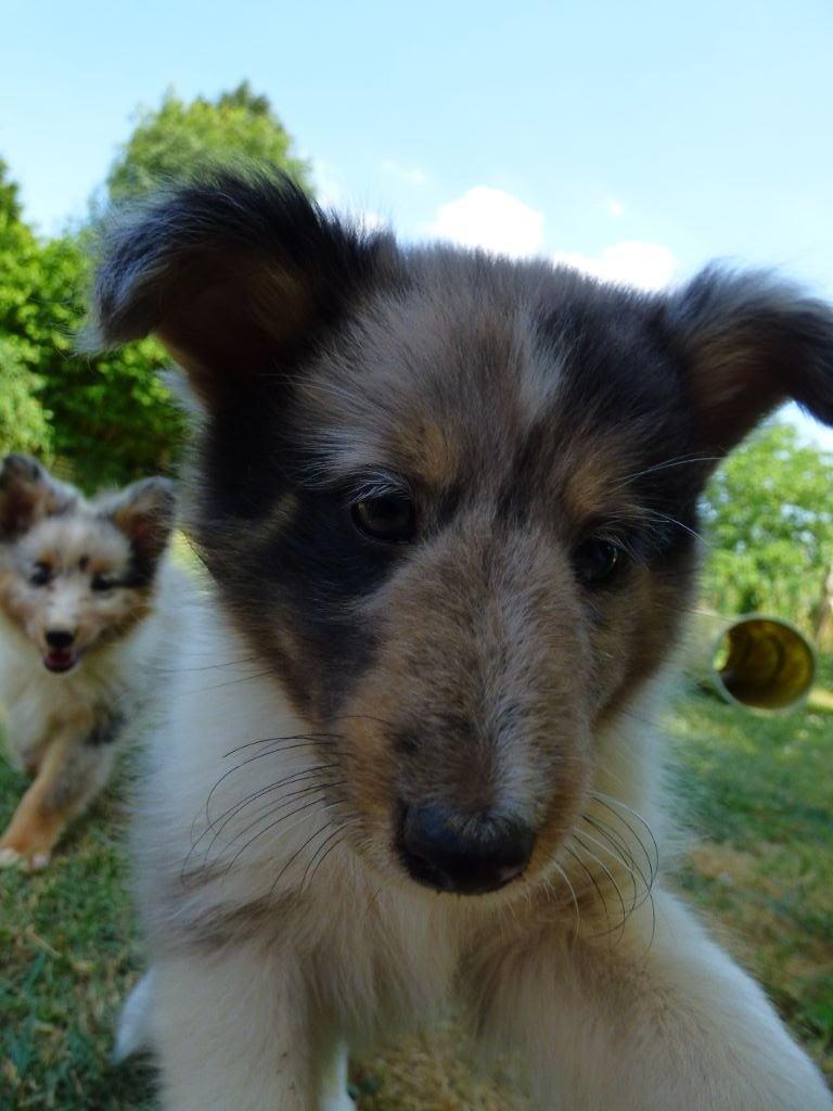 Des Doudous De La Grave - Chiot disponible  - Shetland Sheepdog