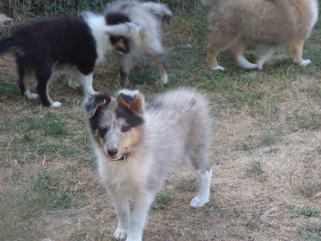 2 OPERA - Shetland Sheepdog