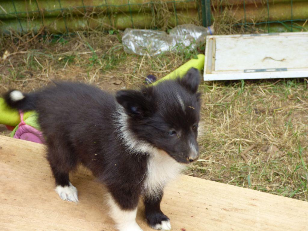 FNT Ondine - Shetland Sheepdog