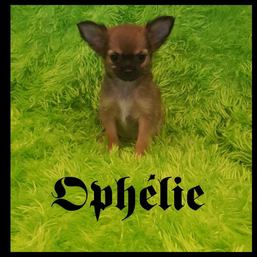 Des Chtichihuahuas - Chiot disponible  - Chihuahua