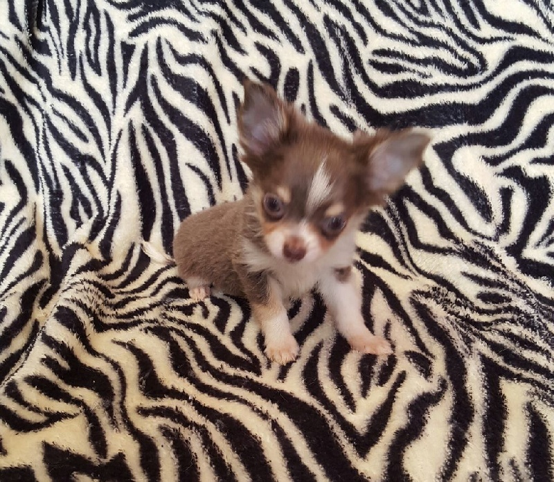 Des Chtichihuahuas - Chiot disponible  - Chihuahua