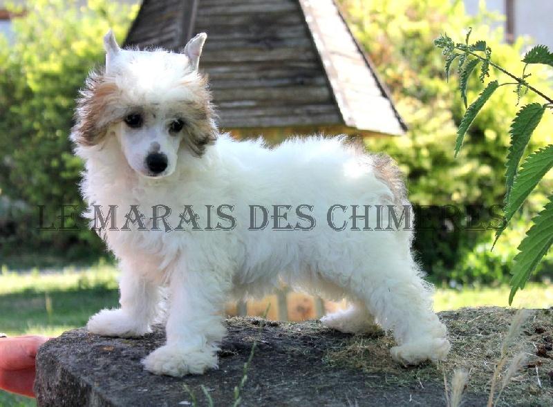 Du Marais Des Chimeres - Chiot disponible  - Chien chinois à crête