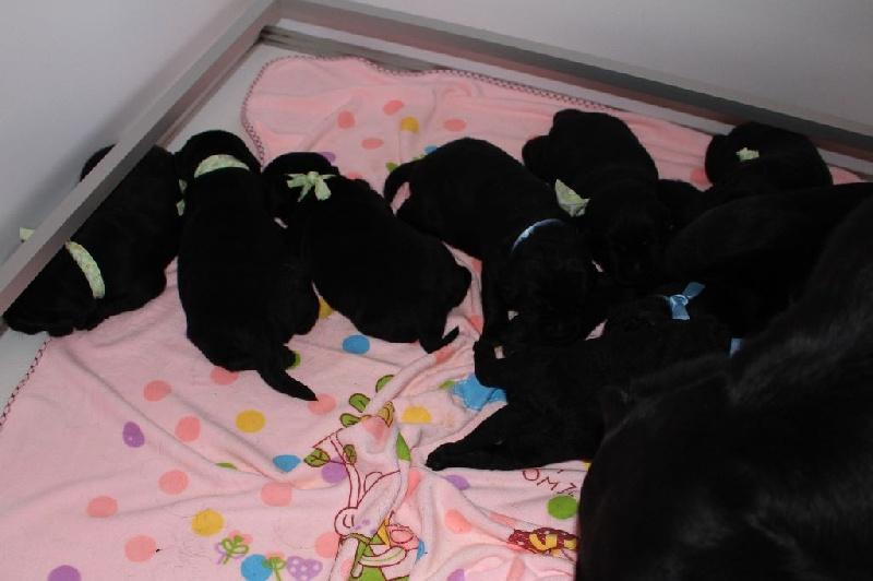 De La Foret Des Pyramides - Chiot disponible  - Labrador Retriever