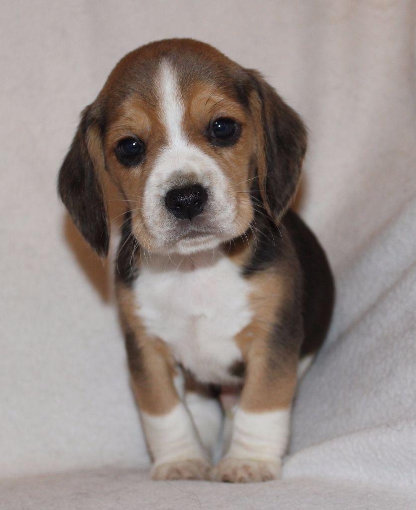 Chiot elevage des chasseurs du temps eleveur de chiens - Chiot beagle gratuit ...