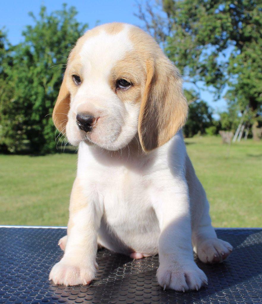 chiot beagle m le disponible en pays de la loire 72 sarthe toutes les portees les chiots. Black Bedroom Furniture Sets. Home Design Ideas