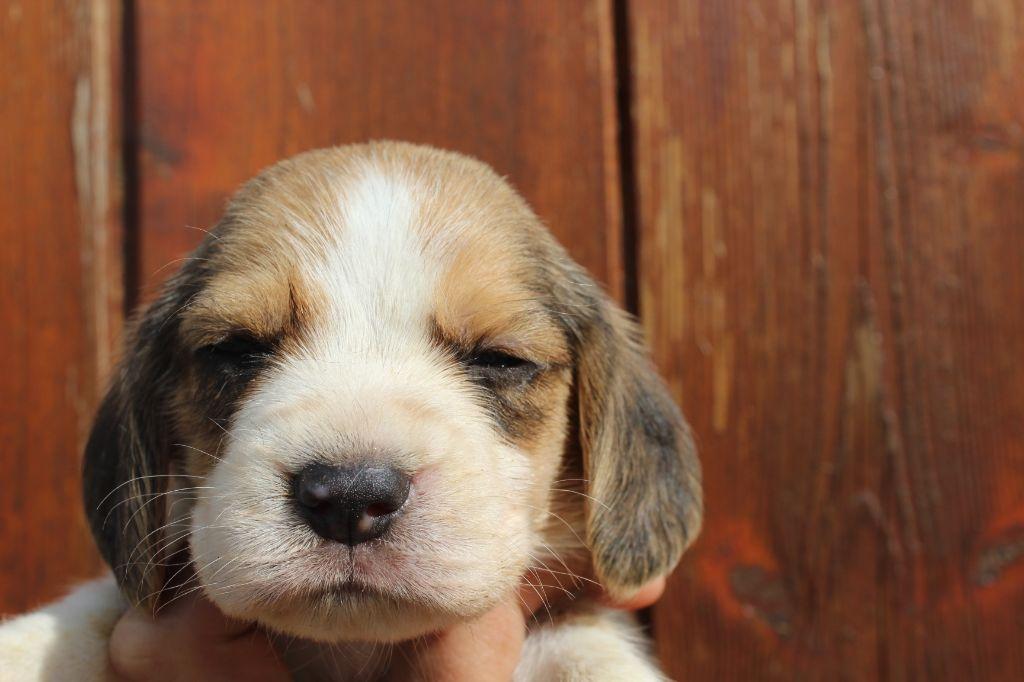 Des Chasseurs Du Temps - Chiot disponible  - Beagle