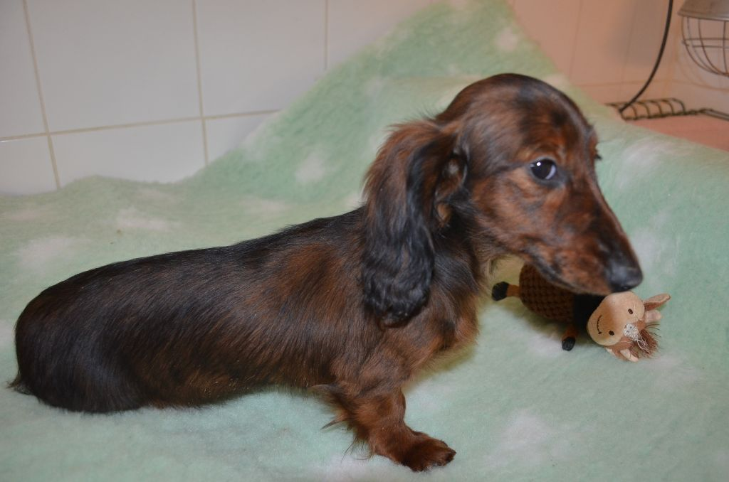 Du Clos Des Bords De Mer - Chiot disponible  - Teckel poil long
