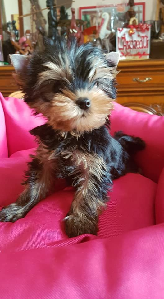 POP CORN CARAMEL - Yorkshire Terrier