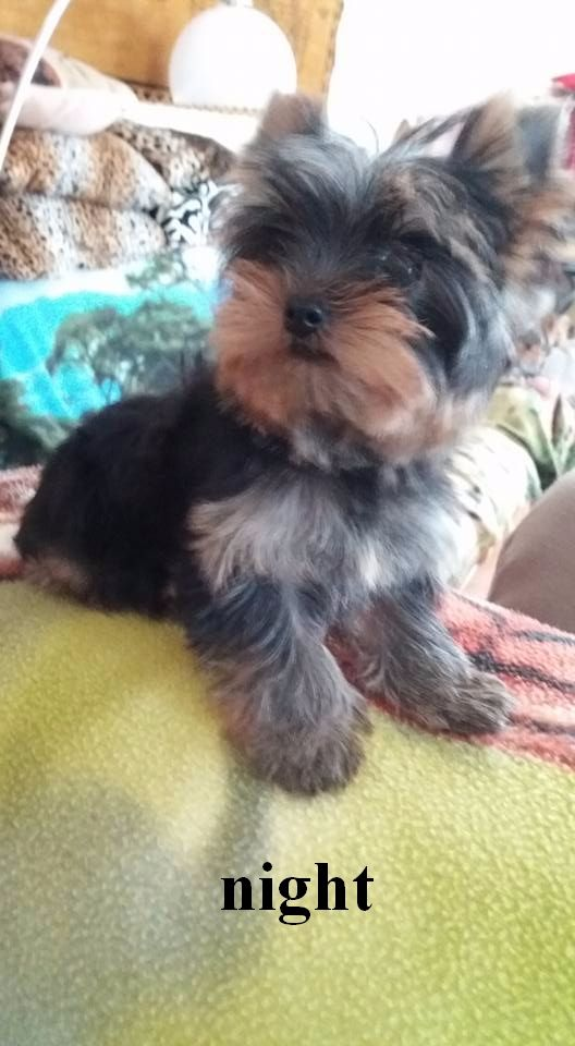 De L'arche D'or - Chiot disponible  - Yorkshire Terrier