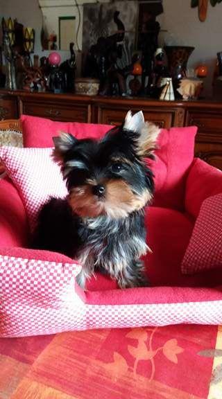De L'arche D'or - Chiot disponible  - Yorkshire Terrier