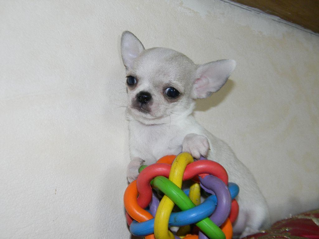 Macry-sala - Chiot disponible  - Chihuahua